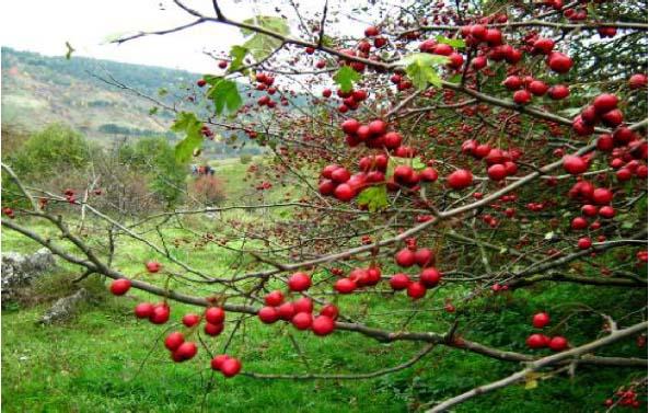 Кустарник или невысокое дерево с серой гладкой корой; молодые побеги опушенные, буро-красные, с колючками.